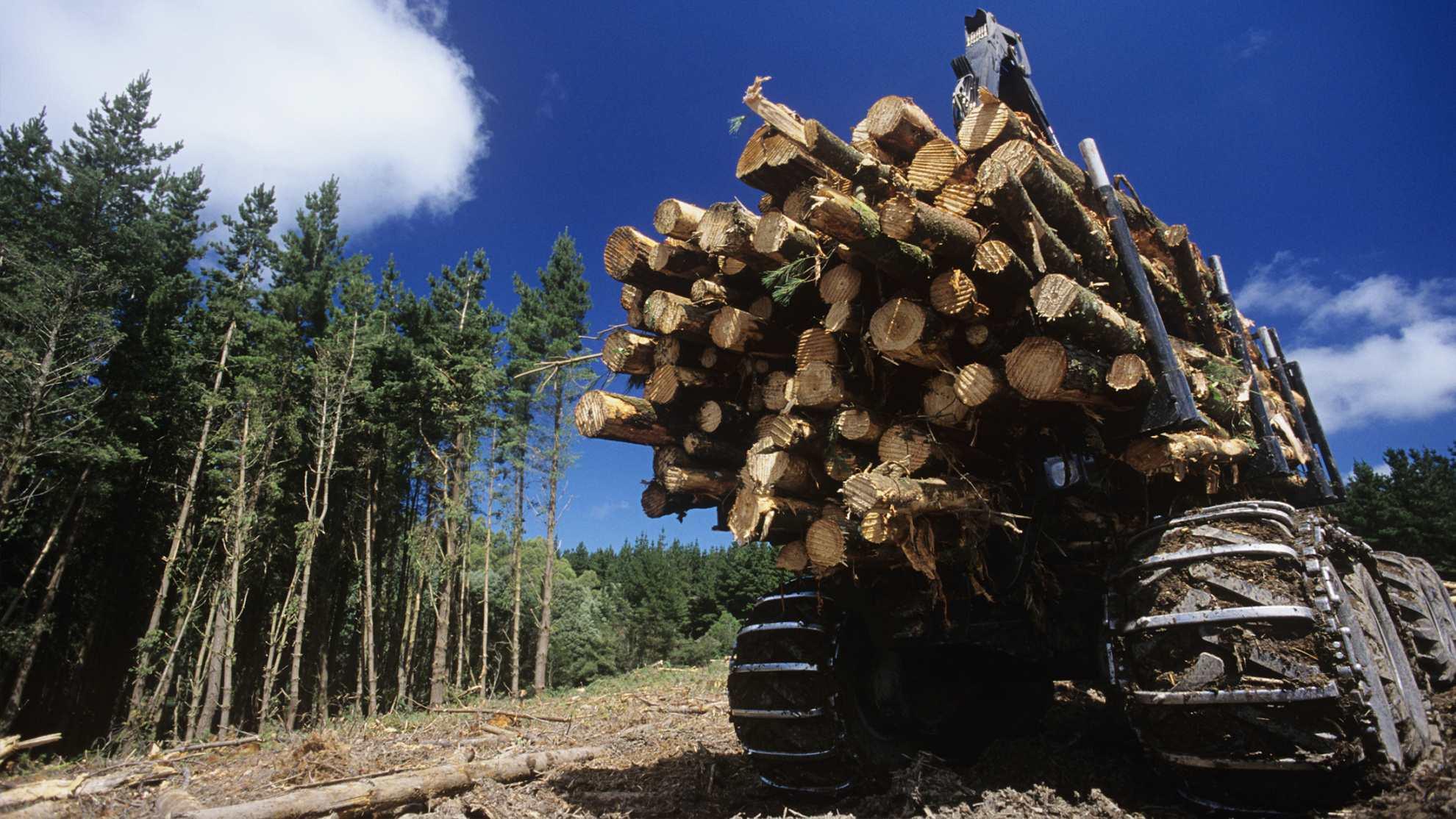 Težba akátového dřeva